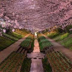 Yokohama Cherry Blossoms in Bloom (Future Fun) Tags: laughing fun funny lol humor freaky laugh epic fail