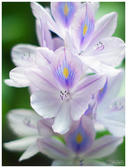 Water Hyacinth (b. inxee) Tags: flower water takumar violet 55mm m42 hyacinth supertakumar waterhyacinth eichhorniacrassipes asahismctakumar11855