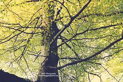 (l AKP Photography) Tags: tree green nature leaves branches beautifullight akpphotography bloggakpphoto
