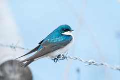 Tree Swallow (Tachycineta bicolor) (Michael J Porter) Tags: bird birds britishcolumbia 108mileranch