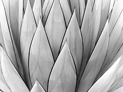 graphic botanica (hurleygurley) Tags: light cactus bw ilovenature graphic explore hurleygurley botanica elisabethfeldman
