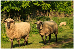 Springtime (3) (H. Bos) Tags: haven nature grass animal sheep natuur lamb gras lente sheeps dier lam springtime almere schapen schaap lammetje littlelamb waterlandsebos