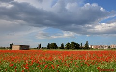 campo di papaveri (solonanda non c'è più) Tags: red sky verde green field clouds nuvole cielo campo rosso puglia papaveri autofocus flickrbronzetrophygroup artistoftheyearlevel2 musictomyeyeslevel1 rememberthatmomentlevel4 rememberthatmomentlevel1 magicmomentsinyourlife magicmomentsinyourlifelevel2 rememberthatmomentlevel2 rememberthatmomentlevel3 magicmomentsinyourlifelevel3 rememberthatmomentlevel7 rememberthatmomentlevel9 rememberthatmomentlevel5 rememberthatmomentlevel6 rememberthatmomentlevel8butterfly