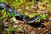 162/365: Black Rat Snake (Pantherophis obsoletus) at Crockett Park, Midland, Virginia (Stephen Little) Tags: blackratsnake pantherophisobsoletus sigma18250 sigma18250mm sigma18250mmf3563 sigma18250mmf3563dcoshsm sonya77 jstephenlittlejr sigma18250mmf3563dcoshsm880205 slta77 sonyslta77 sonyslta77v sonyalphaslta77v