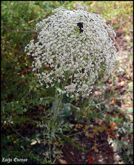 Daucus Carota maximus (Zachi Evenor) Tags: flowers flower nature forest israel ben  carota maximus benshemen    modiin daucus shemen        zachievenor daucuscarotamaximus