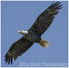 Bald Eagle Canon 800mm f/5.6 lens (Mike Black photography) Tags: county new summer black bird mike canon photo big eagle pair year birding flight bald nj aves raptor jersey monmouth ornithology nesting 800mm eaglets 2013