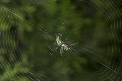 Spider eating series 18 (Richard Ricciardi) Tags: spider eating web spinne araa  araigne ragno timeseries     gagamba    nhn  spidertimeseries