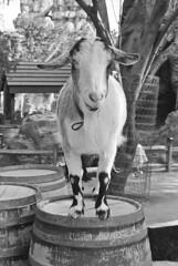 Goat on a Barrel (bhop) Tags: california leica film animal animals canon 50mm zoo diy los angeles disneyland f14 goat rangefinder 400 m6 premium screwmount arista