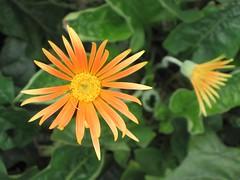 () Gerbera jamesonii [ Hong Kong Botanical Garden] ( KHQ Flower Guide) Tags: gerbera asteraceae