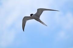 Common Tern (DigitalCanvas72) Tags: ocean ny water birds docks bay li dock nikon south great flight salt longislandny telephoto pilings nikond3100 nikkor55300mmvrdx