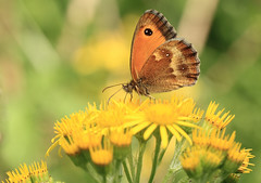 Gatekeeper on Ragwort [Explored] (bojangles_1953) Tags: nature butterfly insect wildlife gatekeeper gatekeeperbutterfly