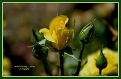 Yelow rose (Pepe (ADM)) Tags: flowers flores nature rose flor yelow fiori fleure yelowrose