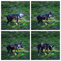 Boston terrier shaking off water