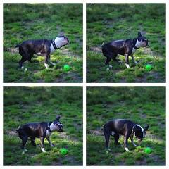 Boston terrier shaking off water