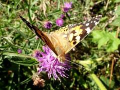 Painted Lady (little_auk) Tags: nature butterfly insect suffolk thegrove wildlife felixstowe paintedlady woodlandtrust