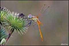 Sympetrum fonscolombii (Explore) (alfvet) Tags: macro nikon dragonflies ngc libellule insetti valsesia sigma150 d5100 mygearandme