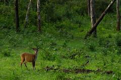 BD-in-his-serene-habitat (Hari L Ratan) Tags: india mountains nature nikon sigma karnataka tamilnadu ooty westernghats avalanche lakdi d7000