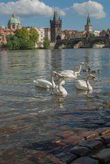Prague, Czech Republic (by Sarka) Tags: urban tower architecture river photo swan europe prague czechrepublic historical charlesbridge