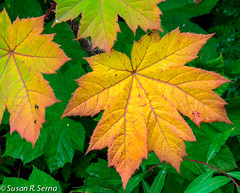 Change is Coming (SusanRSerna) Tags: autumn plant green fall nature leaves yellow alaska leaf nikon anchorage d7000 dailynaturetnc13