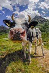 Muuuuuu....cca (gianmarco giudici) Tags: mucca alpi grandangolo animali sigma1020mm pascolo gianmarcogiudici