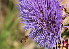 Hovering (catb -) Tags: flower flora bee honeybee artichoke fa botanicgardens apismellifera