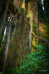 Fence and Ferns (stephencurtin) Tags: california county trees plants usa color green fence moss oak sonoma photograph ferns