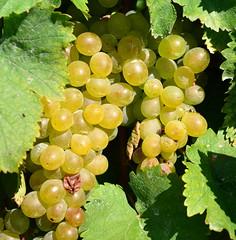 DSC_0135 (pjpink) Tags: summer virginia vineyard vine september winery vineyards horton grapes 2013 pjpink