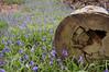 Bluebell log