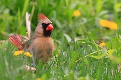 northern cardinal female at Lake Meyer Park IA 854A1860 (naturalist@winneshiekwild.com) Tags: park county lake female cardinal reis iowa baltimore larry northern meyer winneshiek