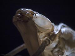 Dragonfly larval case, Larvenhülle einer Libelle (scubaluna) Tags: detail nature fauna tiere dragonfly natur indoor case transparent makro muster nahaufnahme beleuchtung insekten magnifier biologie larve textur snoot geschlüpft zoologie hülle olympusesystem facettenauge libellenlarve subsee scubalunaphotography