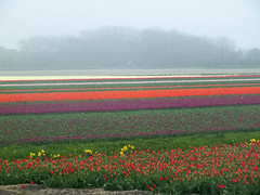 a sea of colours [explored] (carol_malky) Tags: pink flowers trees red white green netherlands yellow purple tulips bulbs hazy daffodils explored