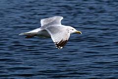 herring gull Castletown (scouser185) Tags: gulls herringgull