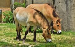 The rare, endangered Przewalski's Horse (stevelamb007) Tags: wild horse usa chicago zoo us illinois nikon pair endangered rare wildhorse brookfieldzoo 18200mm przewalskishorse stevelamb d7200 582015brookfieldzoo