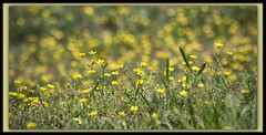 Yellow Wildflower (II) (gtncats) Tags: park flowers yellow outside bokeh outdoor wildflowers potofgold canonef70300mm beyondbokeh canon70d photographyforrecreation infinitexposure