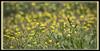 Yellow Wildflower (II) (gtncats) Tags: park flowers yellow outside bokeh outdoor wildflowers potofgold canonef70300mm beyondbokeh canon70d photographyforrecreation infinitexposure