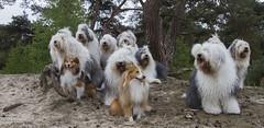 with friends (GdeB fotografeert) Tags: oldenglishsheepdogs withfriends beerze rheaenlisa gdebfotografeert