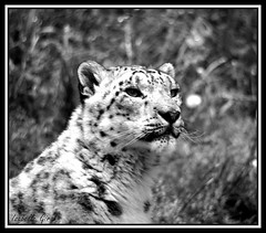 Panthère des neiges (isabelle.giral) Tags: snow neige panther panthère