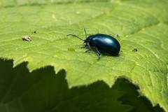 Beetle. (Markus Moning) Tags: green nature up animal closeup canon bug schweiz close natur beetle grn ch nahaufnahme tier kfer moning g15 markusmoning appenzellinnerrhoden appenzelleggerstanden