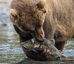 Salmon Meal (Rick Derevan) Tags: alaska animals bear brownbear kodiak kodiakbrownbear ursusarctosmiddendorffi kodiak2016 kodiaktrip2016 places