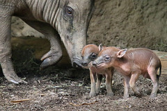 Mama Fig and the Figlets at One Day Old (Penny Hyde) Tags: babirusa babyanimal piglet sandiegozoo