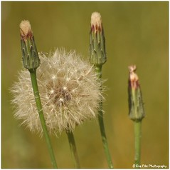 Pusteblume (mayflower31) Tags: blume flower wiese meadow verblht