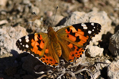 Painted Lady? (Ady Mac) Tags: painted lady greece kos