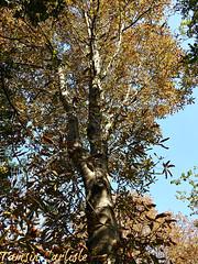 Horsechestnut Tree (tinlight7) Tags: horsechestnut istanbul turkey tree autumn taxonomy:kingdom=plantae plantae taxonomy:clade=tracheophyta tracheophyta taxonomy:phylum=magnoliophyta magnoliophyta taxonomy:class=magnoliopsida magnoliopsida taxonomy:order=sapindales sapindales taxonomy:family=sapindaceae sapindaceae taxonomy:genus=aesculus aesculus castaños buckeyeshorsechestnuts taxonomy:common=horsechestnut taxonomy:common=castaños taxonomy:common=buckeyeshorsechestnuts