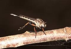 IMG_5278 (Roving_photographer) Tags: asilidae garigal nationalpark sydney nsw australia robber fly