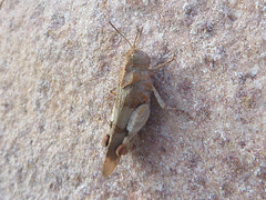 Un Criquet escaladeur (Didier Auberget Photographie) Tags: macro insecta insecte sauterelle grasshopper orthoptre neoptera noptre caelifre caelifera criquet