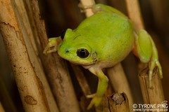 Leptopelis xenodactylus - Long Toed Tree Frog. (Tyrone Ping) Tags: rare rarefrogs endangered endangeredspecies amphibians amphibian amazing frog long toed tree herps fieldherping canon7d close up macro nature green beautiful herping globe