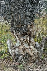 Albero inciso dai Castori, a tree gnawed by Beavers (paolo.gislimberti) Tags: parchinazionali nationalparks grandteton alberi trees comportamentoanimale animalbehavior