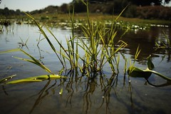 grass (julietkitz) Tags: grass nature water river warm warmtones