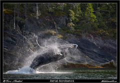 A75Q8119_B_AerialAcrobatics (Wild Elements.ca) Tags: ngc 2016 bc britishcolumbia bccoast coast greatbearrainforest humpback humpbackwhale mammals marine marinemammals whale whales wildlife