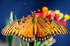 Gulf Fritillary Butterfly (rickdunlap2) Tags: gulffritillary butterfly animal wildlife insect orange